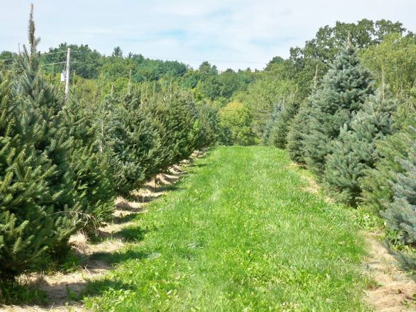 Christmas Trees at Henry Hill Farm