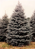 Blue Spruce (Colorad